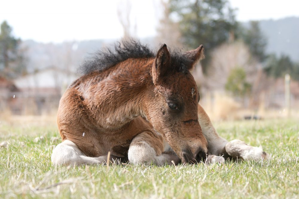 Foal Sleeping in the Grass